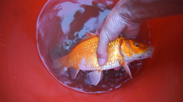 这样的鱼情我能钓一天,还有锦鲤