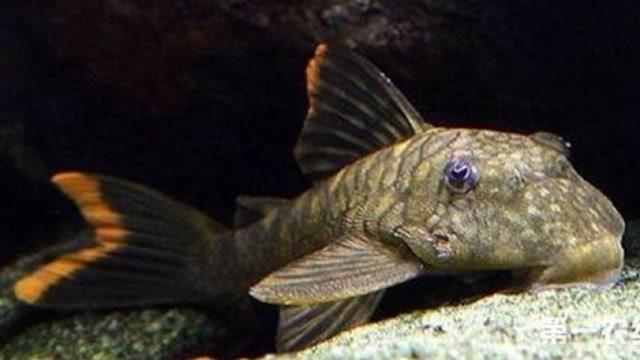 这种鱼繁殖速度极快,不过钓友宁愿埋了也不吃