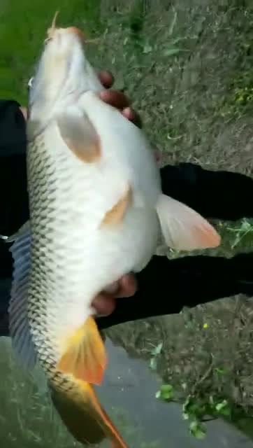 作为一个钓鱼人,遇到这种鱼必须放生