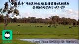 """""""全民养牛""""项目澳洲牧场直播录播视频系列"""