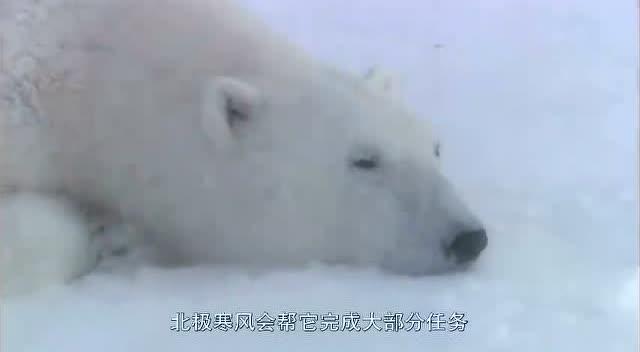 北极熊挖一个坑把自己埋在冰雪里冬眠育