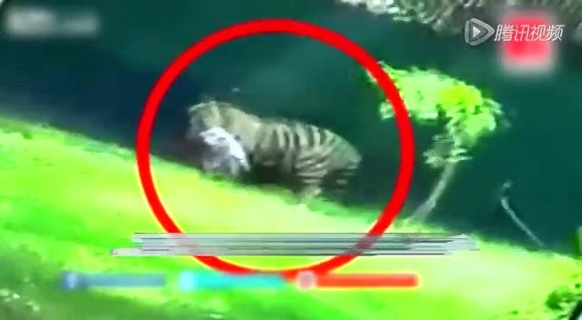 实拍印度男学生翻入虎圈遭老虎撕咬现场截图
