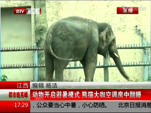动物园贵宾大熊猫空调房中酣睡 拥有冰镇食物消暑截图