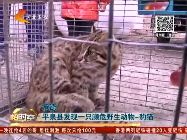 平泉现濒危野生动物豹猫咬死村民家中100余只家鸡