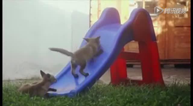 两只可爱的小狐狸 开心的玩滑梯