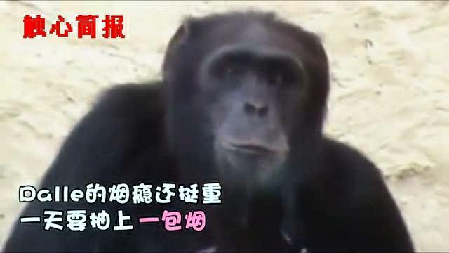 """朝鲜动物园里""""吞云吐雾""""的大猩猩"""