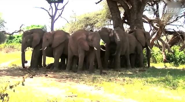 象群树下乘凉秒疏散 哪头捅马蜂窝了