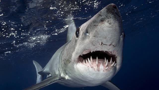 鲨血浴囹�a_大白鲨捕食海豹:张开血盆大口,咬成两段,可怕