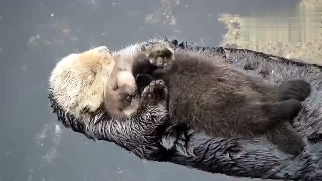 实拍动物园水獭组团围攻猴子 将其活活淹死 - 狂野之