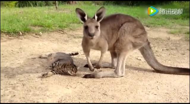 动物界的逗逼 袋鼠哥挠痒太销魂
