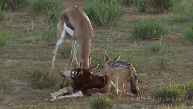 两只羚羊打架,犄角死死缠住,胡狼趁机大快朵颐