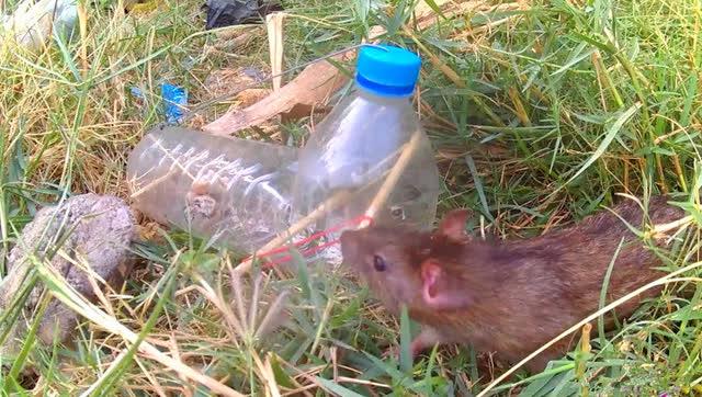 塑料瓶做的捕鼠陷阱,自己可以做个试试