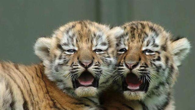 老虎小时候,有趣的大猫,温顺