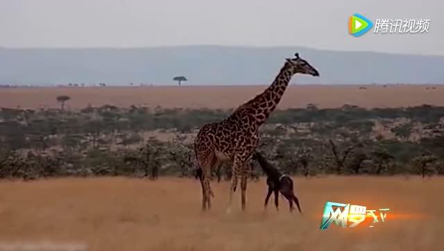 新生长颈鹿第一次站起来走路 母亲陪伴身旁不离不弃