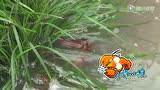 《好奇实验室》:被毒晕的小龙虾还能吃吗?