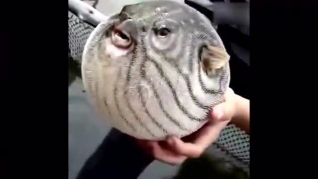 河豚由球变成正常的鱼全过程,鼓鼓的好可爱