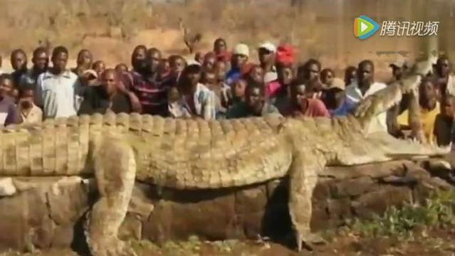 世界上最大动物:20米鳄鱼!百斤老鼠!