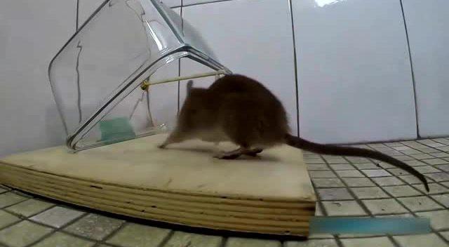 手工diy,使用废弃饮料瓶制作一个捕鼠器