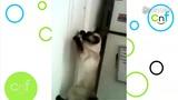 超聪明 暹罗猫会开门锁