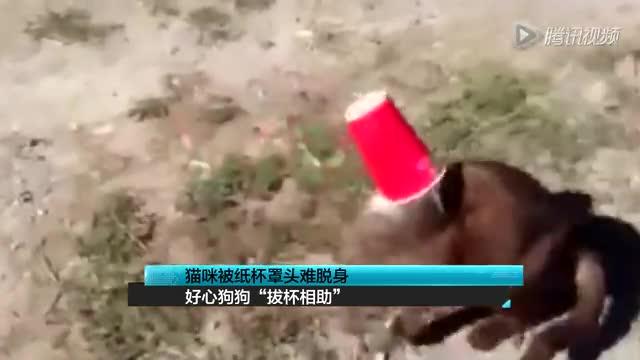 """猫咪被纸杯罩头难脱身 好心狗狗""""拔杯相助""""截图"""