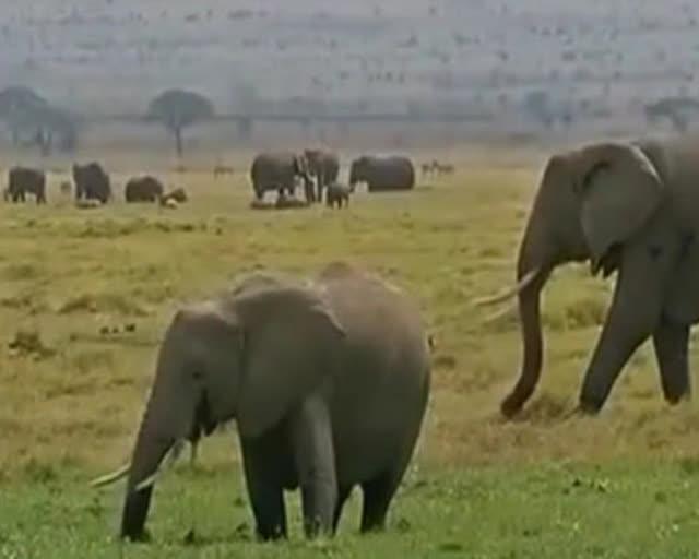 为保护野生动物 大象戴上定位项圈
