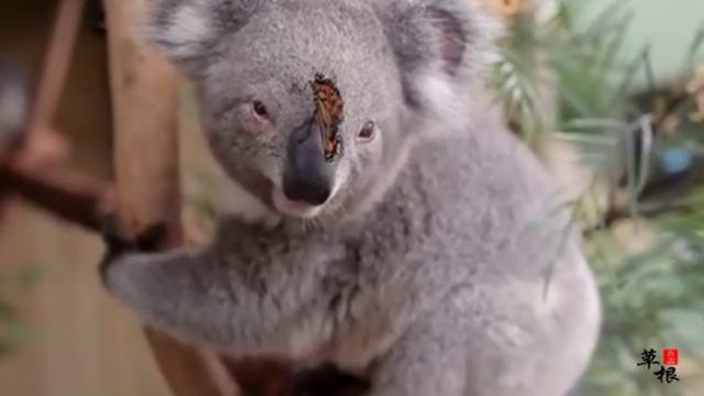 实拍悉尼动物园考拉与蝴蝶亲吻嬉戏