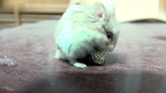 吃桑葚的小仓鼠摔下去了 好可爱!