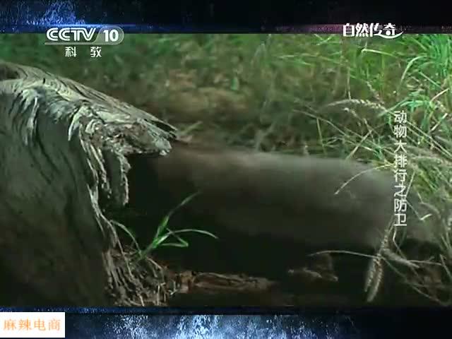 世界上最勇敢的动物 竟然是蜜獾