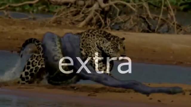 巨蟒大战鳄鱼 巨蟒力量无比拿下鳄鱼
