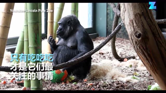 黑猩猩生日趴,饲养员用心布置的现场被拆的七零八落