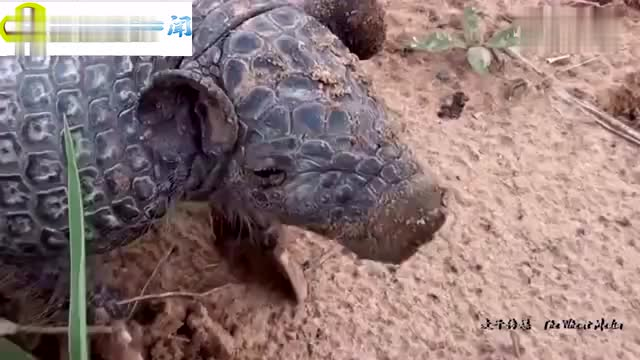 工地挖掘机挖出稀有动物,工作人员把它扯出来笑停不下来