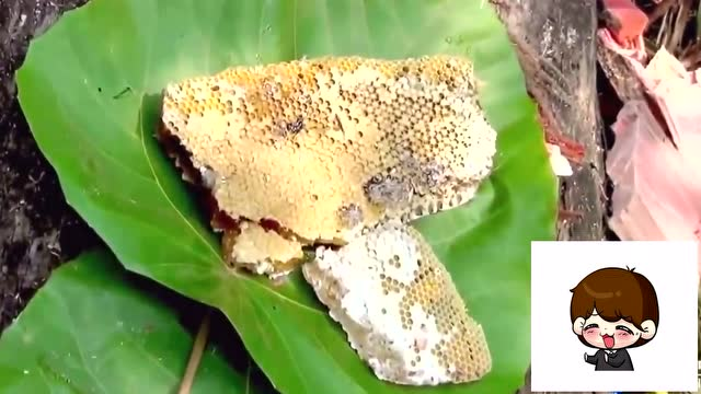 为了树洞中的蜂蜜,几十年的大树先砍倒 再砍个洞取蜜!图片
