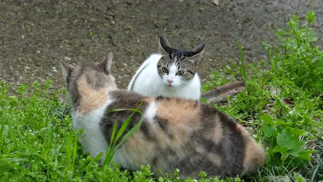 绝对精彩猫斗,果然是小老虎!