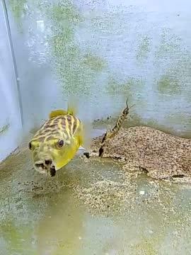 河豚vs蜈蚣,不要被黄河豚可爱的外表所迷惑
