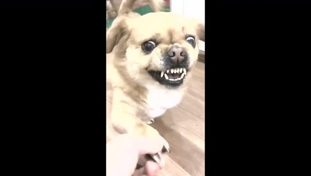 生气中的狗狗表情包,龇牙咧嘴的!图片