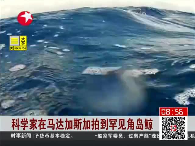 科学家在马达加斯加拍到罕见角岛鲸