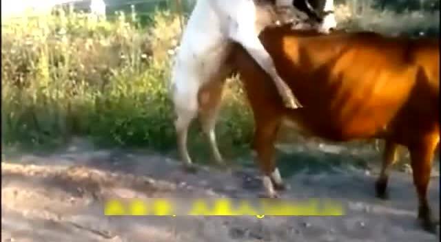 小公牛看上一头大母牛,结果腿太短了,被母牛狠狠的嘲笑了