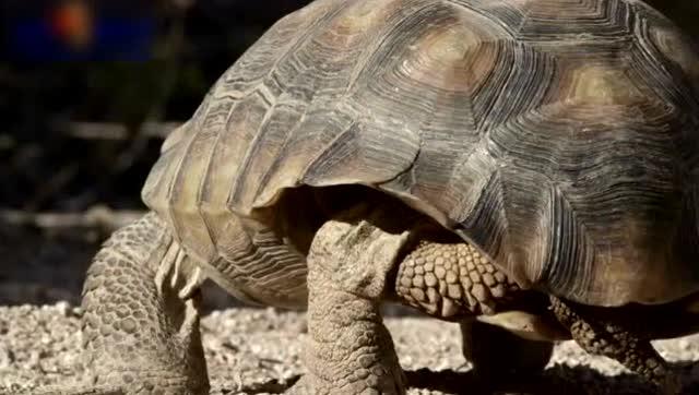 沙漠龟遭响尾蛇抢占巢穴,临走时报复性踩了蛇头一脚