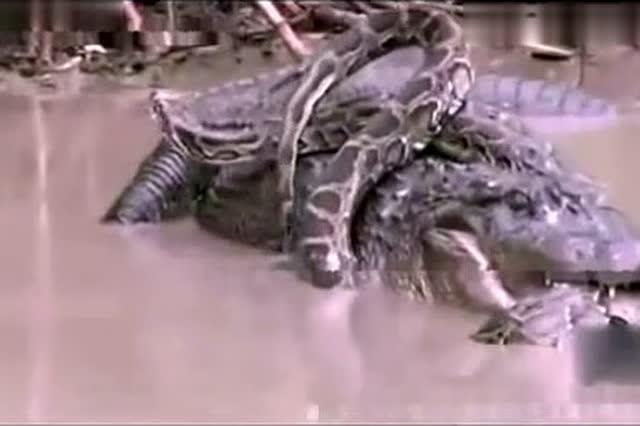 实拍巨蟒大战食人鳄相互撕咬