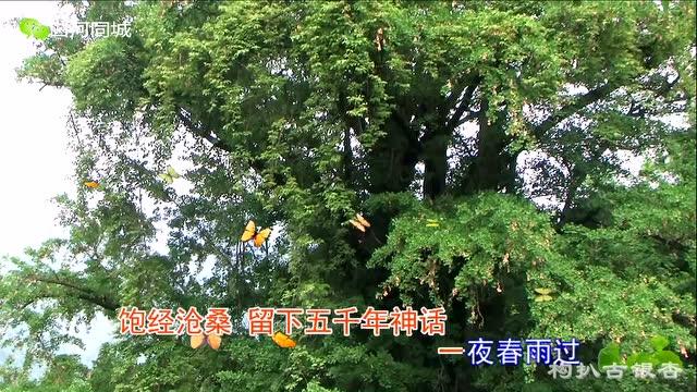 陕西省白河县构扒古银杏树
