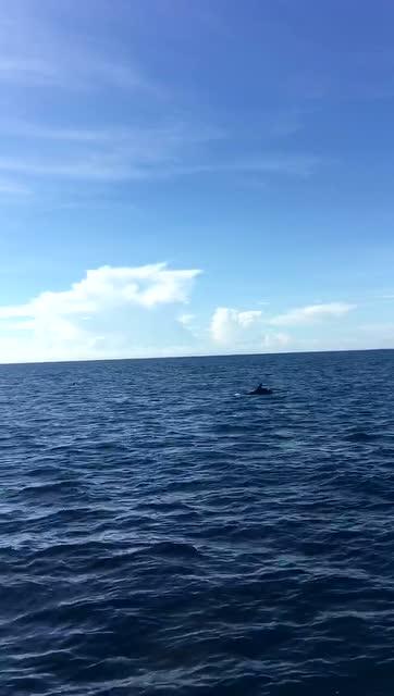 处女岛观海豚