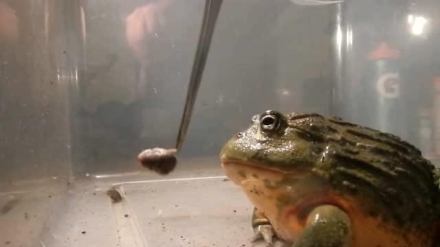 非洲牛蛙有多猛,会动的都当作美食一顿乱怼