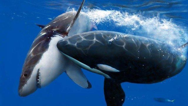 杀人鲸猎杀大鲨鱼,凶猛鲨鱼毫无反抗之力!
