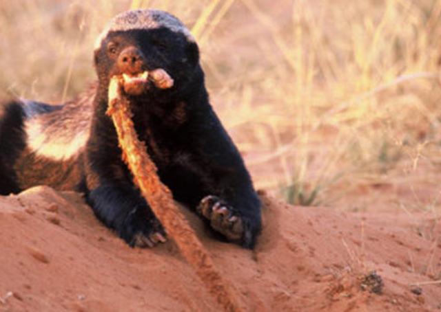 非洲蜜獾 这才是真正的食物链顶端的动物 中毒后继续食用