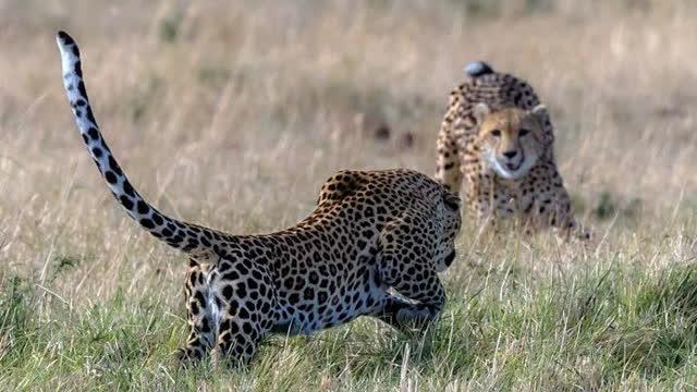 豹 豹子 壁纸 动物 桌面 640_360