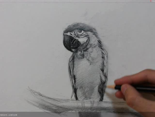 素描零基础 素描入门 安德烈绘画 青雨素描 素描动物鹦鹉