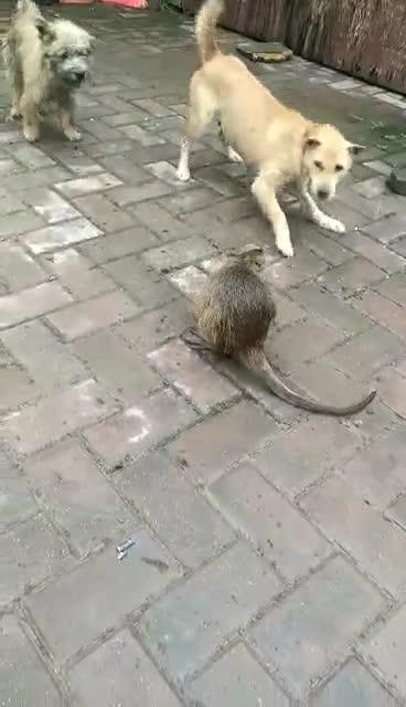 中华田园犬大战大老鼠