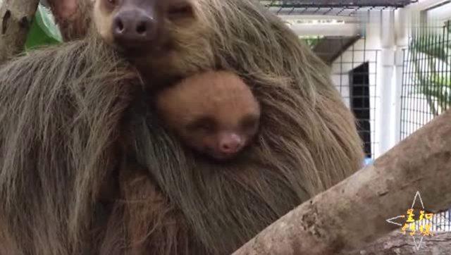 树懒妈妈 受重伤仍紧抱吃奶小树懒 手术都不松开