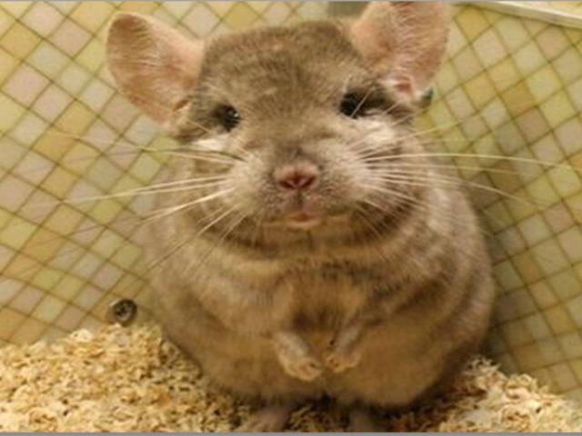 娇小可爱萌化人鼠类宠物受追捧