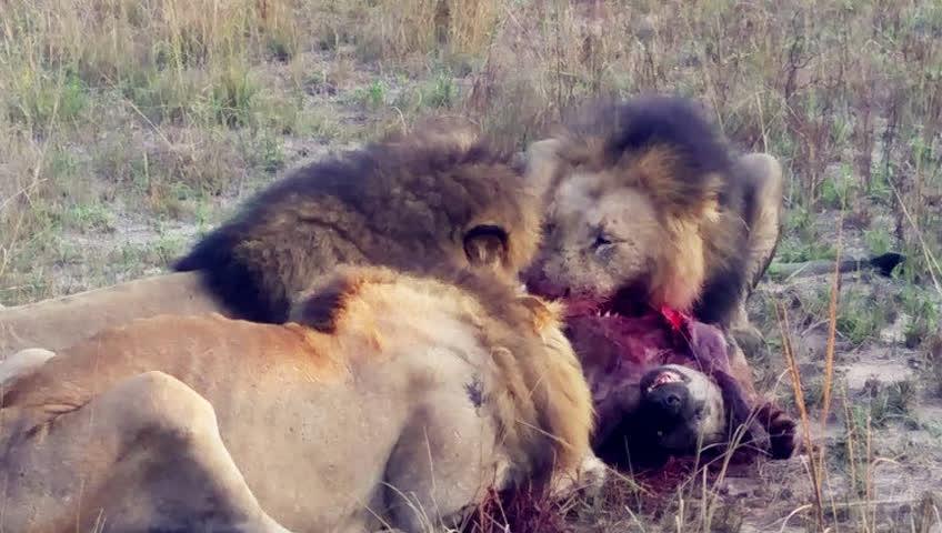 梦到自家狗被狮子吃了